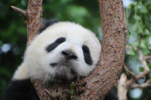 panda bambus holzuhr